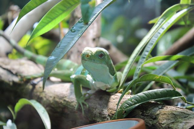 Nahaufnahme eines Leguans. Er sitzt auf einem Holzscheit und schaut zwischen Blättern hindurch.