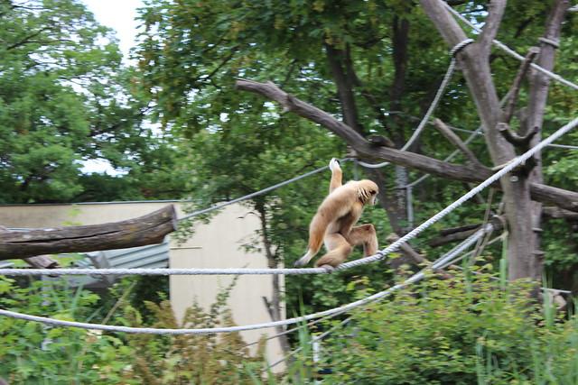 Ein Affe klettert flink die zwischen Bäumen gespannten Seile entlang