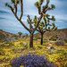 Nikon D850 Joshua Tree National Park Wildflowers Superbloom Fine Art! California National Park Wild Flowers! Elliot McGucken Fine Art & Nature Photography! Springtime Flowers Blooming! Nikon D850 & AF-S NIKKOR 28-300mm f/3.5-5.6G ED VR from Nikon!