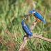 Common Kingfisher,  fish pass