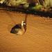 White-faced whistling duck, Mole National Park, Ghana