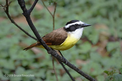 Great Kiskadee Perched On Low Branch In Forest