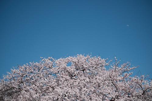 平成最後の桜を愛でる 2