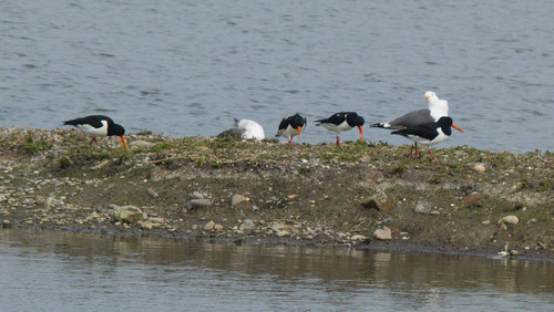 Oystercatchers, Doxey Marshes