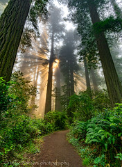 Redwoods and sun rays 3