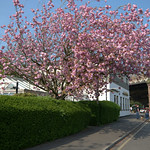 Spring blossom at The Continental, Preston