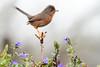 Sylvia undata - Felosa do Mato - Dartford Warbler