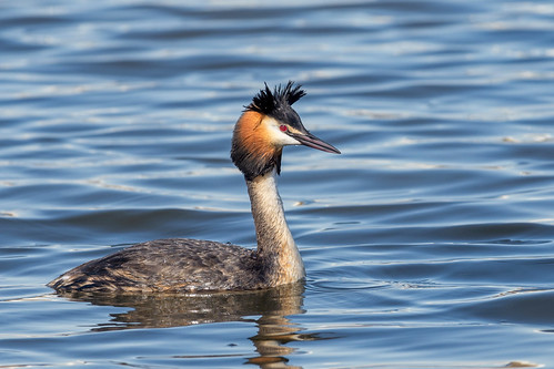 Чомга, Podiceps cristatus cristatus, Great Crested Grebe | by Oleg Nomad