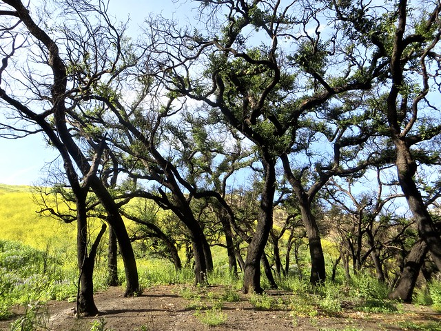 the oak grove in solstice canyon