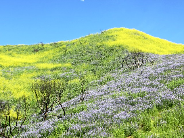 mustard and lupine in solstice canyon