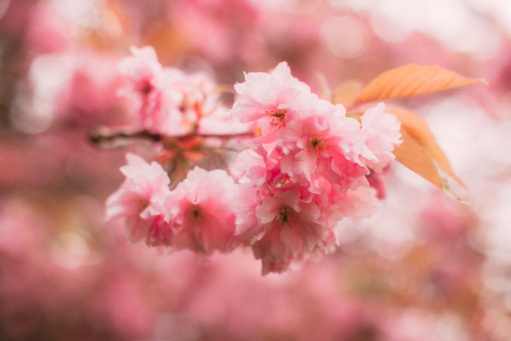 cherry blossom-46