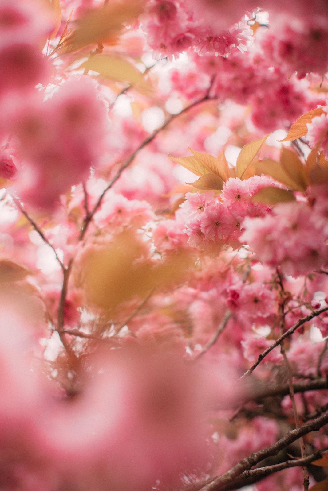 cherry blossom-43