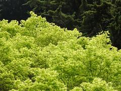 New Green Leaves SR600494