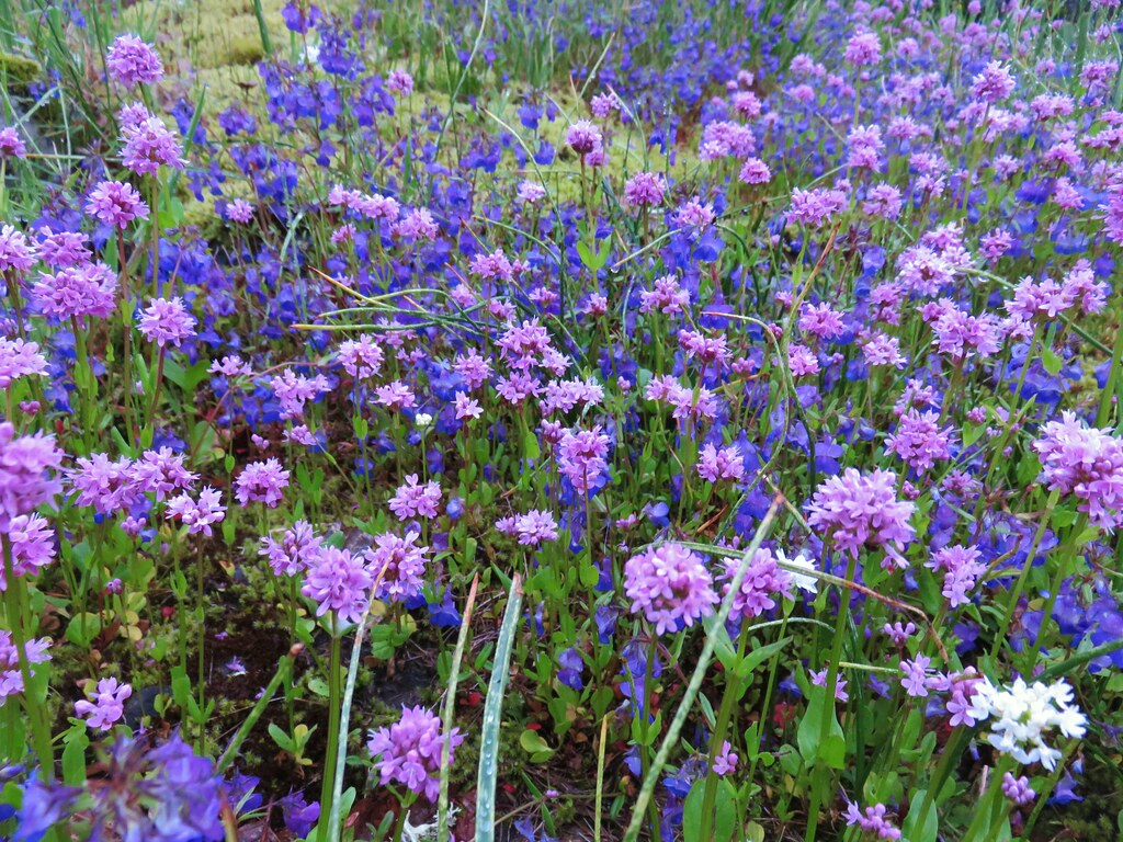 Plectritis and giant blue-eyed mary