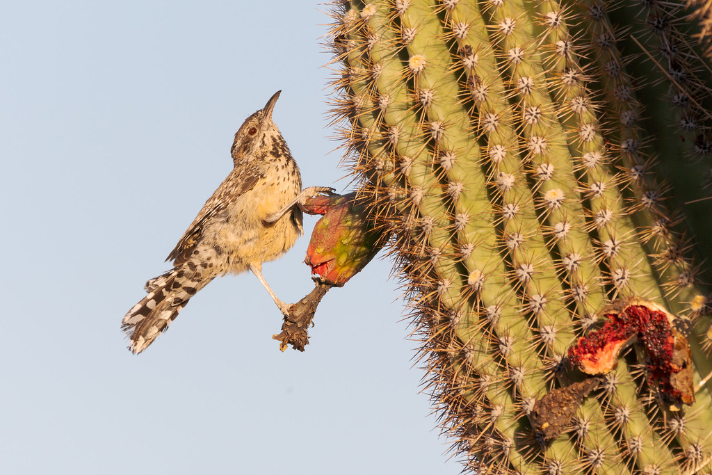 A cactus wren perches on a saguaro fruit along the Latigo Trail in McDowell Sonoran Preserve in Scottsdale, Arizona