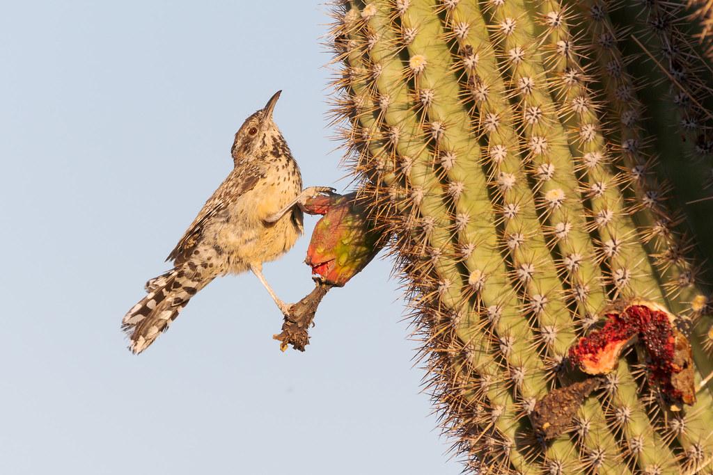 A cactus wren perches on a saguaro fruit along the Latigo Trail in McDowell Sonoran Preserve in Scottsdale, Arizona