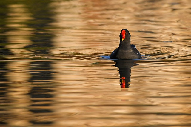 Moorhen on the National trust Bourne Pond Colchester.