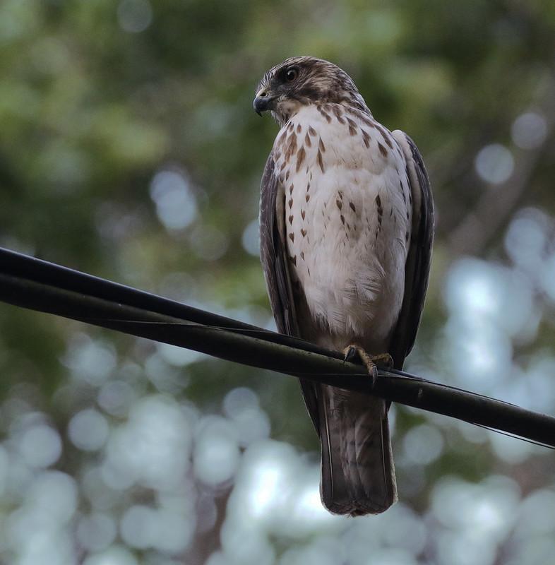 Broad-winged Hawk, Buteo platypterus Ascanio_Best Costa Rica 199A8524