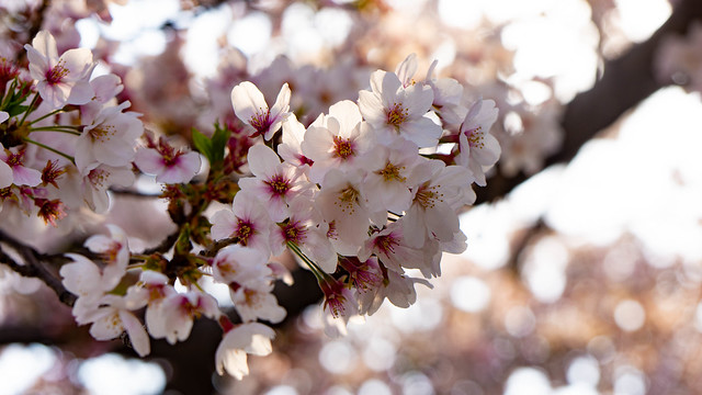 photos of sakura