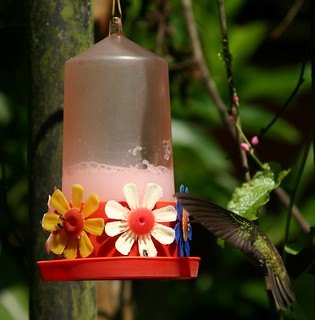 PARC NATIONAL  DE IGUAZÚ colibri