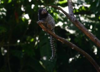 PARC NATIONAL  DE IGUAZÚ  singe capucin