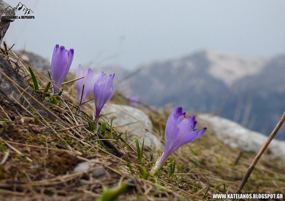 ορεινός κρόκος άνθος φυτό
