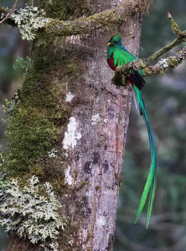 Resplendent Quetzal, Pharomachrus mocinno Ascanio_Best Costa Rica 199A0735