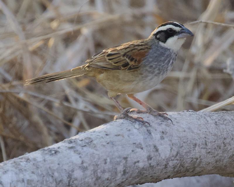 Stripe-headed Sparrow, Peucaea ruficauda Ascanio_Best Costa Rica 199A7737