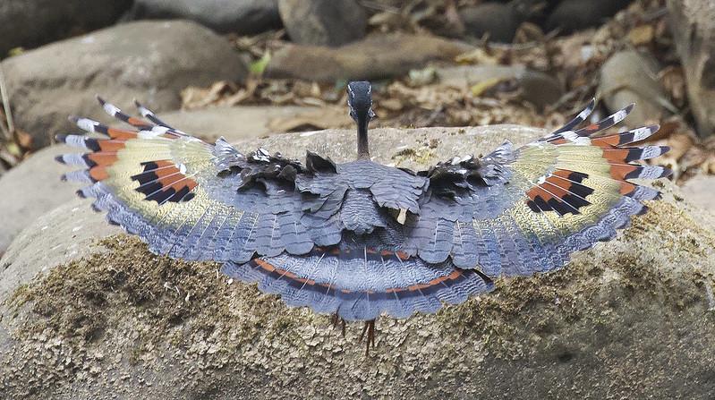 Sunbittern, Eurypyga helias Ascanio_Costa Rica 199A6758