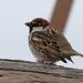 Spanish Sparrow (3)