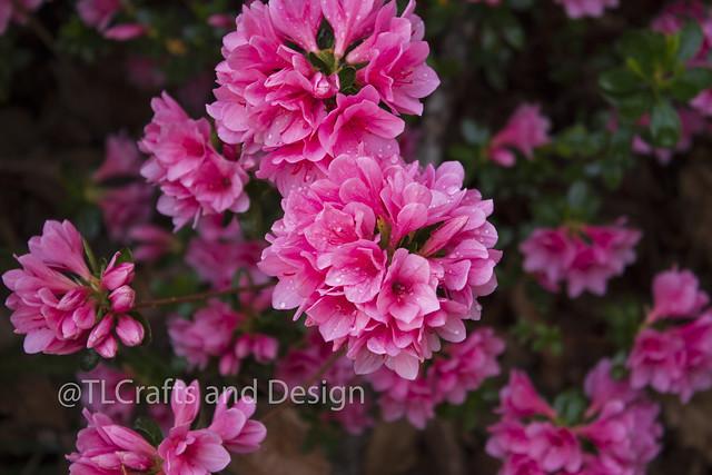 Pink Flowrs 3