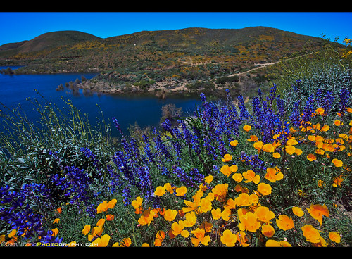 superbloom spring gorgeous diamondvalleylake wildflowers mountain countryside california flowers colorful travel landmark landscape famous blossom outdoor nature usa rural wildflower unitedstates poppy lake water hemet public america park nopeople natural recreation beautiful photography yellow blue