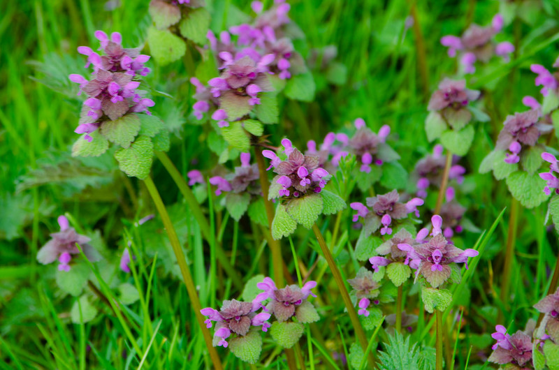 Red dead nettle patch, Doxey