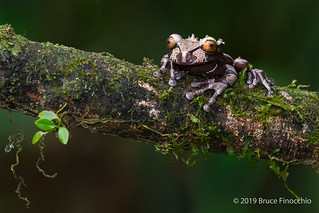 Spiny-headed Tree Frog At Rest On A Epiphyte Covered Branch | by brucefinocchio