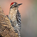 Ladder-backed Woodpecker by Eric Gofreed