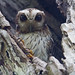 Bare-legged owl (Margarobyas lawrencii) - Holguín Province, Cuba - Feb 2019 by Dis da fi we