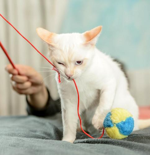 Corinto, gatito siamés Red Point muy guapo, esterilizado tímido y bueno nacido en Octubre´18, en adopción. Valencia. 47613607602_5c8dd82f86