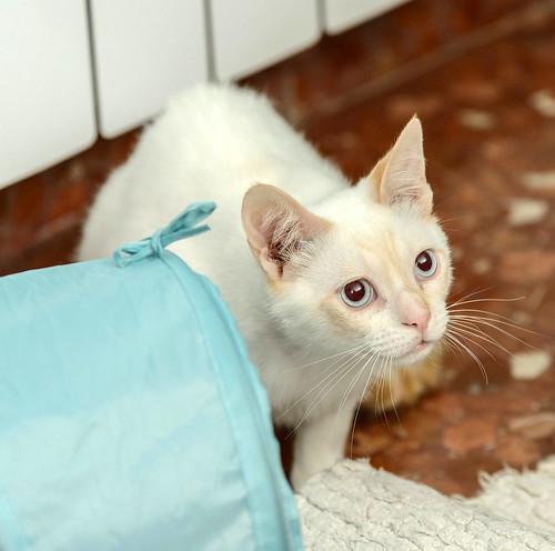 Corinto, gatito siamés Red Point muy guapo, esterilizado tímido y bueno nacido en Octubre´18, en adopción. Valencia. 47613608162_77b4ce54fb