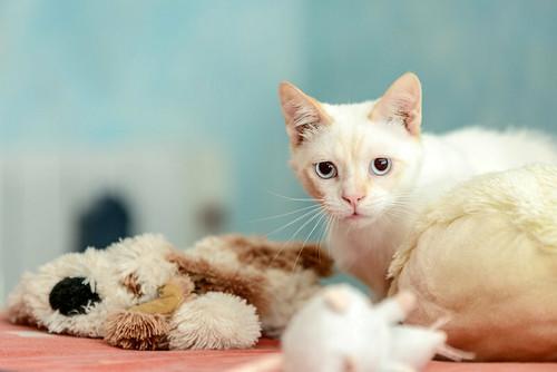 Corinto, gatito siamés Red Point muy guapo, esterilizado tímido y bueno nacido en Octubre´18, en adopción. Valencia. 47613608832_f6d928a08a