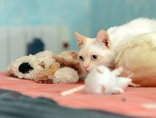Corinto, gatito siamés Red Point muy guapo, esterilizado tímido y bueno nacido en Octubre´18, en adopción. Valencia. 47613609372_d7ba1ab2c2