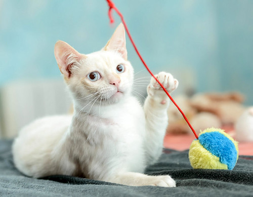 Corinto, gatito siamés Red Point muy guapo, esterilizado tímido y bueno nacido en Octubre´18, en adopción. Valencia. 47613609842_312f67067b