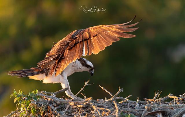 Osprey - Pandion haliaetus | 2019 - 1