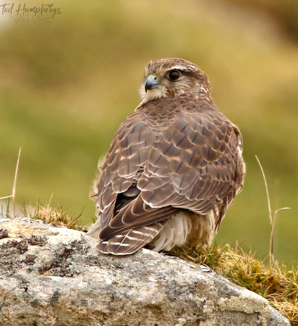 Merlin sat at side of track, North Uist