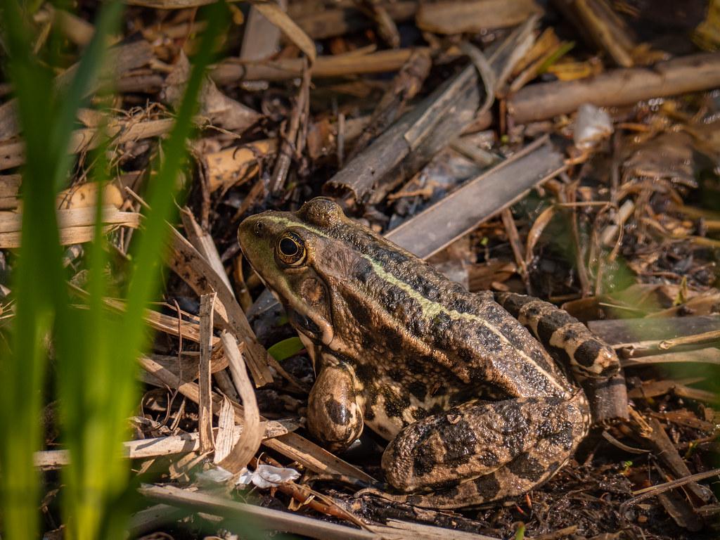 Premières grenouilles... 47615895971_de47a74408_b