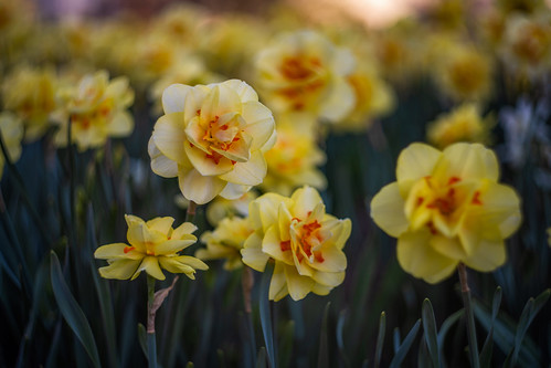 daffodils   by kderricotte