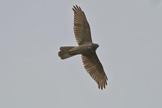 Collared  Sparrowhawk   by friendsintheair