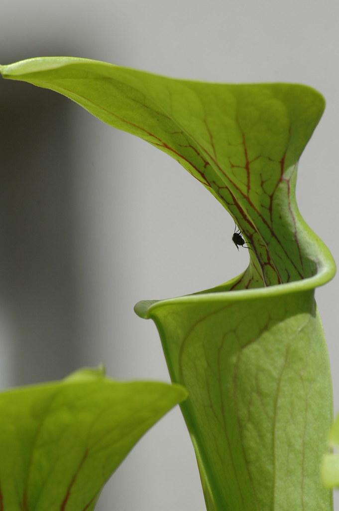 Sarracenia flava first prey