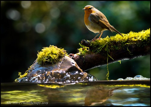Sunlit Robin | by Ade Ward Phototherapy.