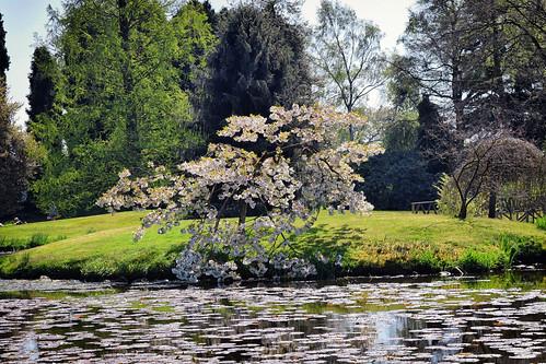 Cherry Blossom Tree (21/04/2019)