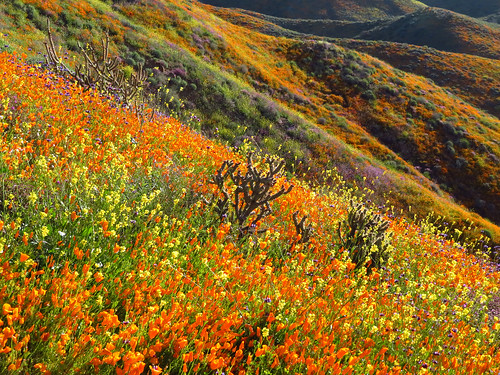 Wildflowers at Walker Canyon in CA